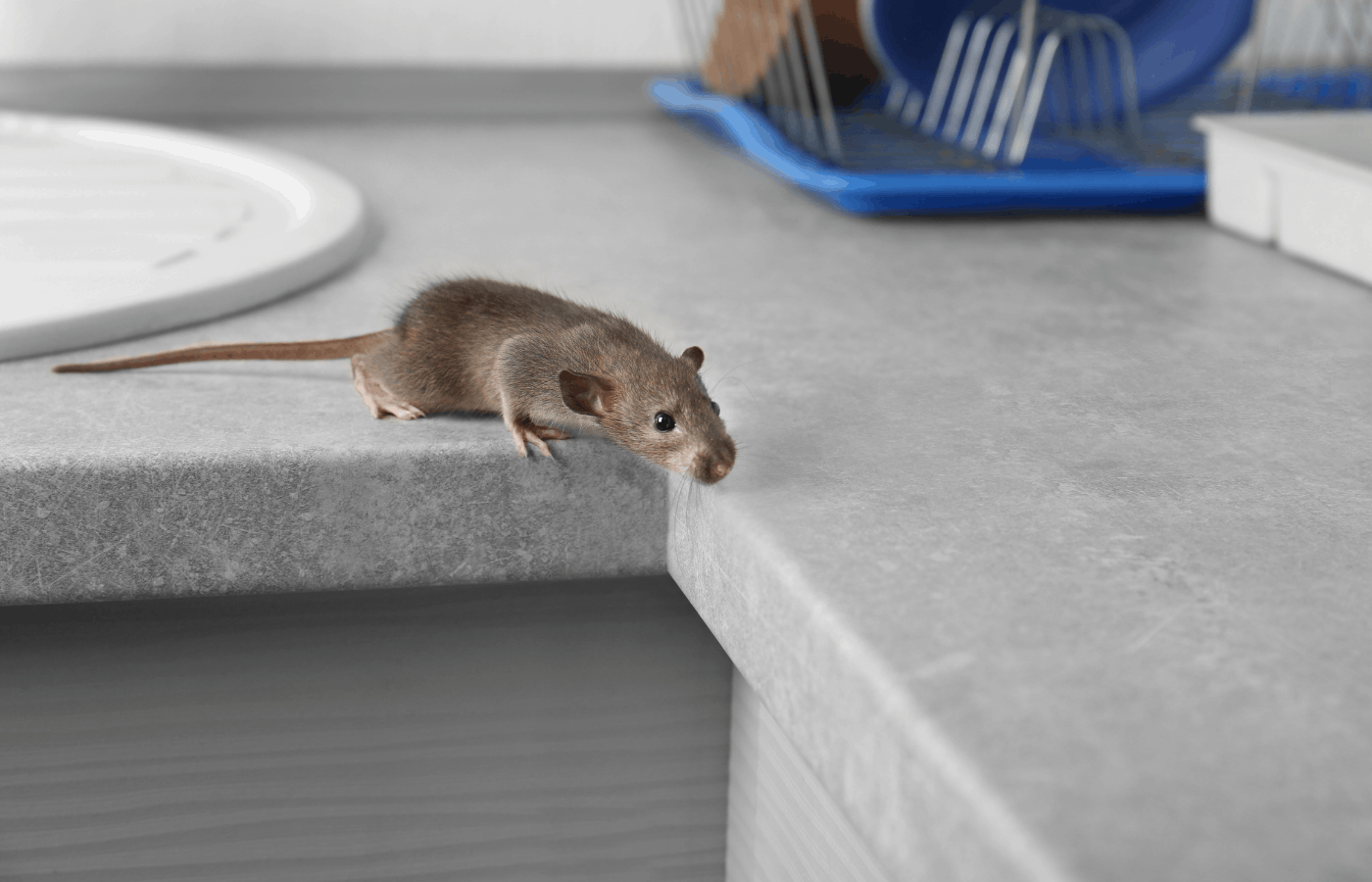 does citronella oil repel mice and rats